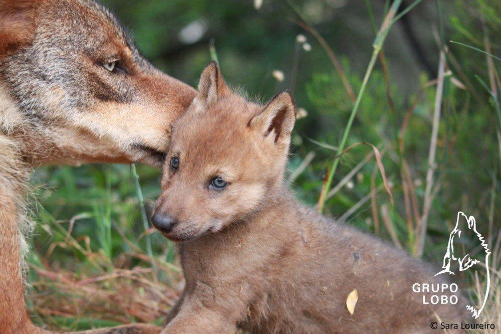 Grupo Lobo | Iberian wolf cub