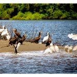 Rio-a-Dentro   Observação de aves no Tejo